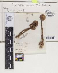 Mycetinis alliaceus image
