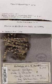 Cladonia phyllophora image