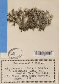 Cladonia furcata image
