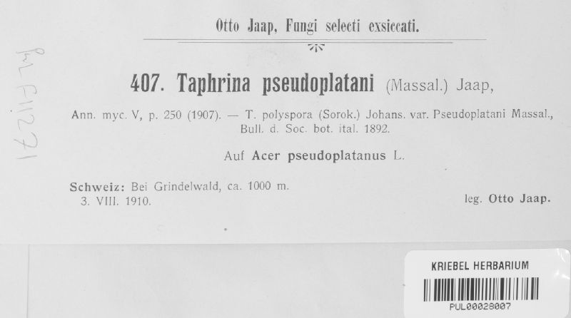 Taphrina pseudoplatani image