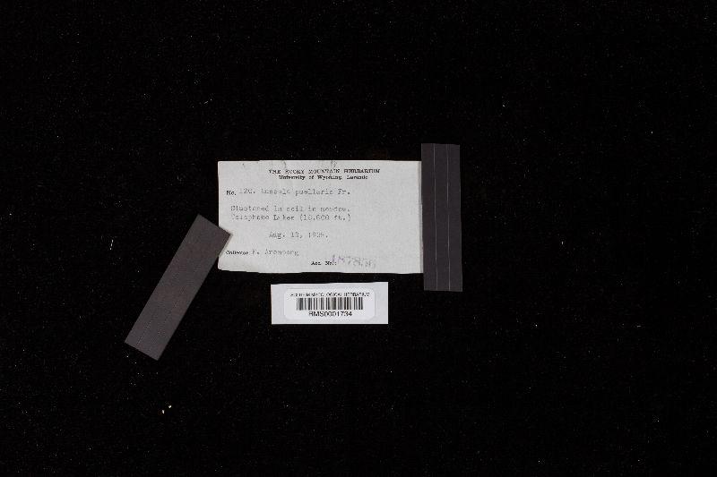 Russula puellula image