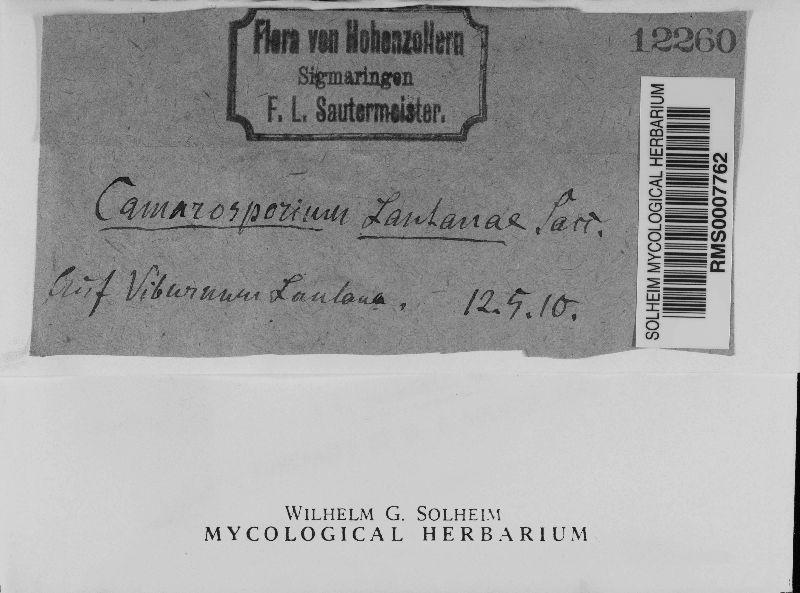 Camarosporium lantanae image