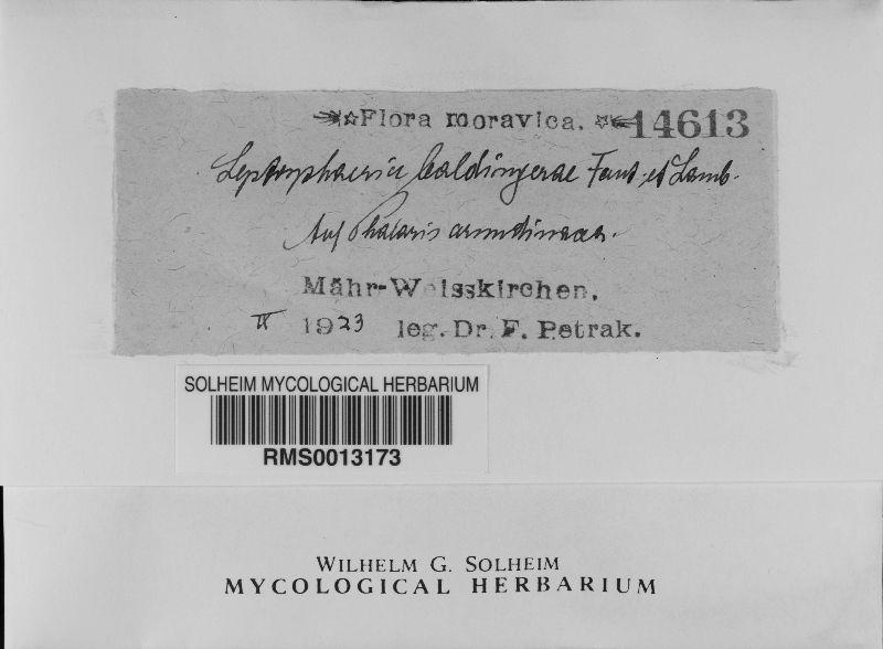 Leptosphaeria lespedezae image