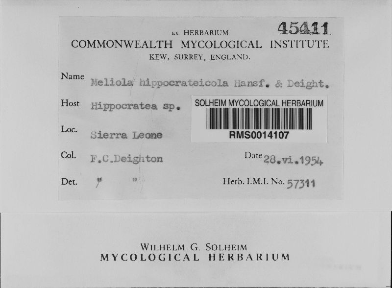 Meliola hippocrateicola image