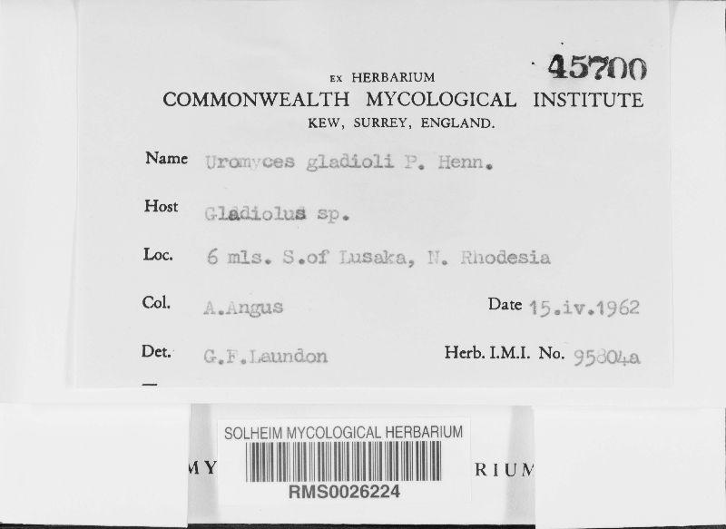 Uromyces gladioli image