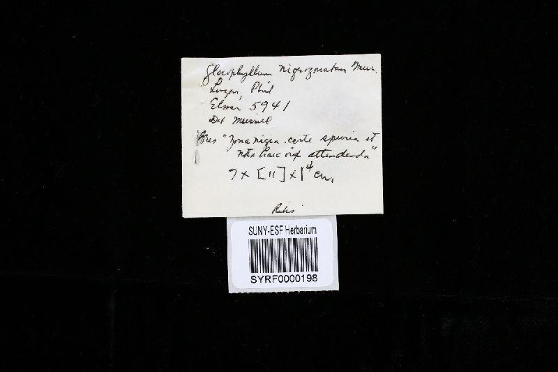 Gloeophyllum nigrozonatum image