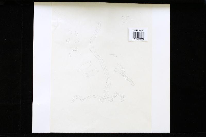 Polyporus vivax image