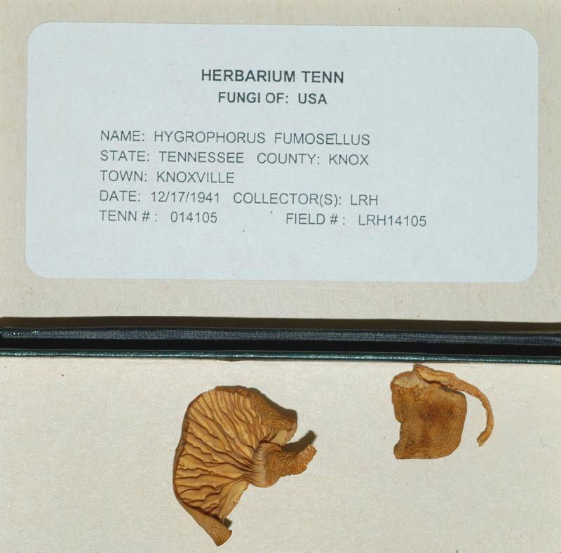 Hygrophorus fumosellus image