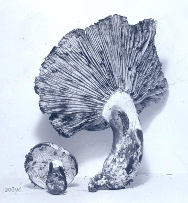 Russula subsordida image