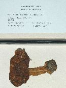Image of Cortinarius fulminoides