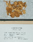 Crepidotus appalachianensis image