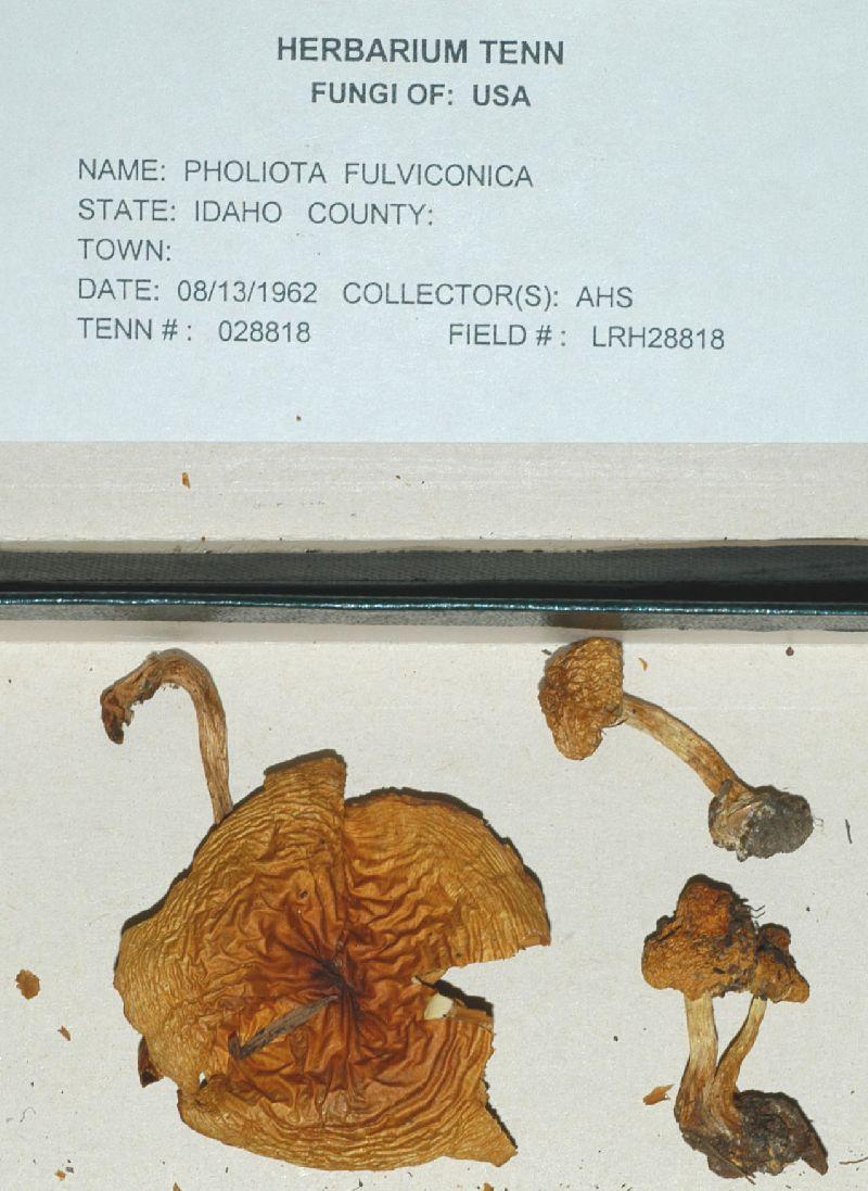 Pholiota fulviconica image