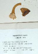 Gymnopilus lutescens image