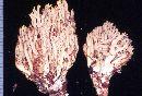 Ramaria amyloidea image