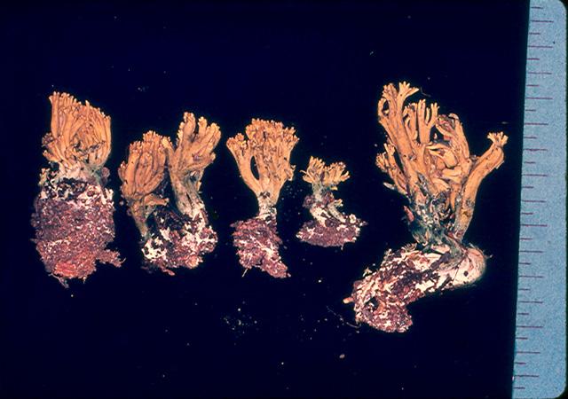 Ramaria glaucoaromatica image
