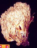 Ramaria pallida image