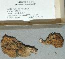 Ramaria mutabilis image