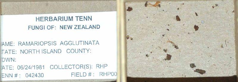 Ramariopsis agglutinata image