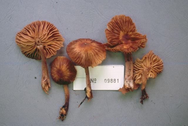 Gymnopus dysodes image