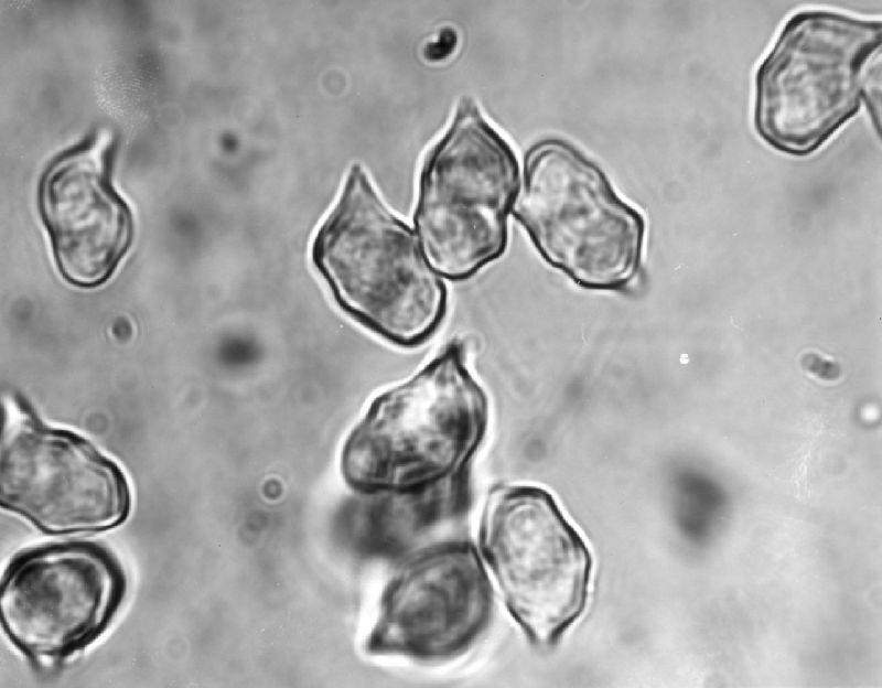 Xerula limonispora image