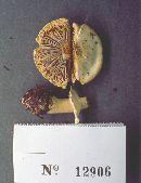 Image of Agaricus butyreburneus