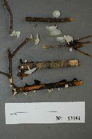 Hemimycena candida image