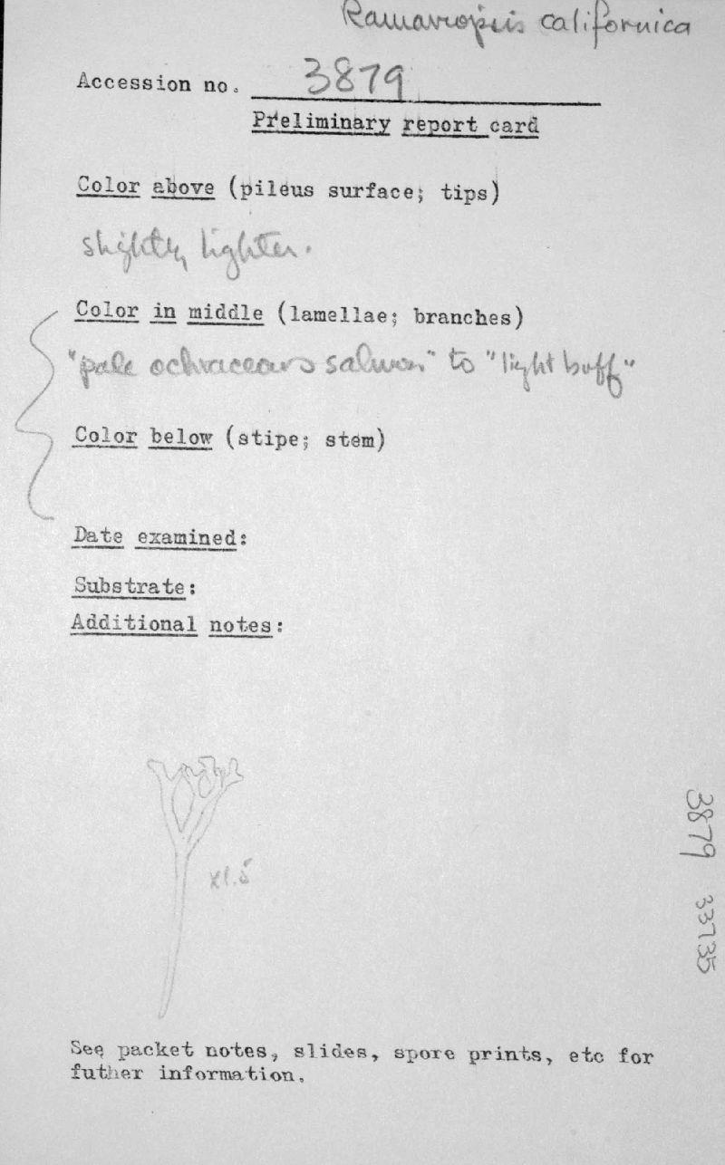 Ramariopsis californica image