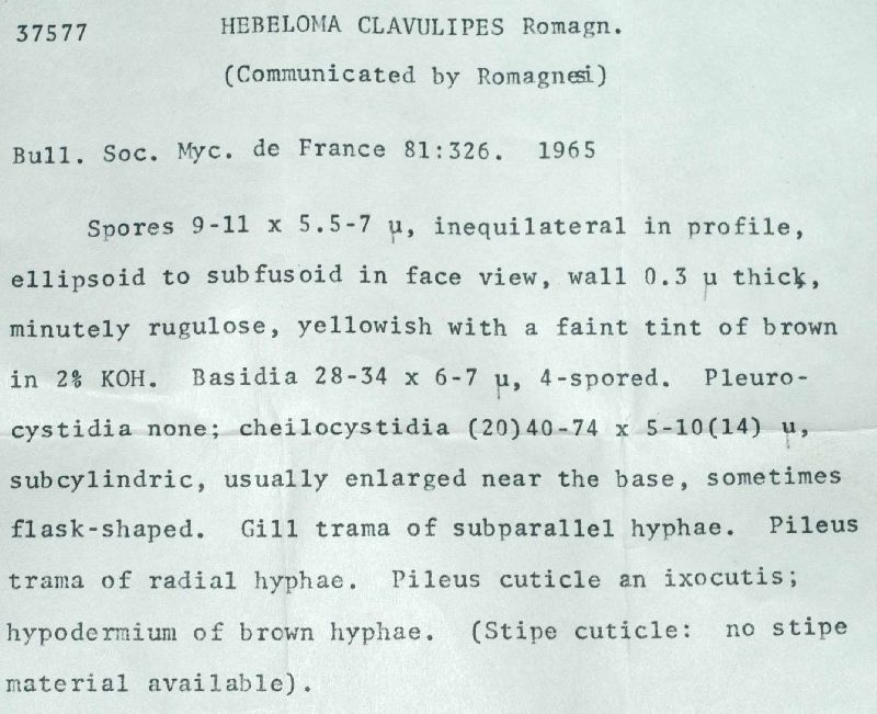Hebeloma clavulipes image