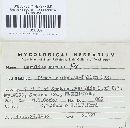 Pseudomerulius aureus image