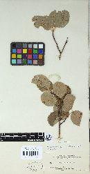 Gymnosporangium nelsonii image