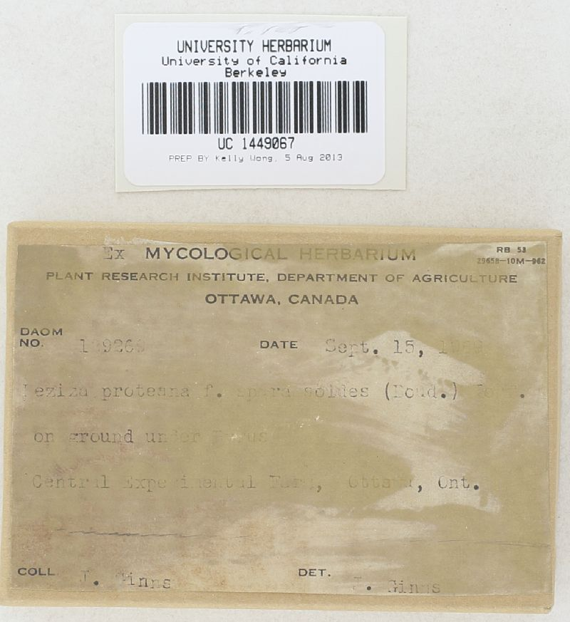 Peziza proteana f. sparassoides image