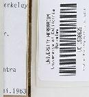 Melanoleuca alboflavida image