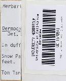 Image of Cortinarius adfocalis