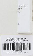 Entoloma serrulatum image
