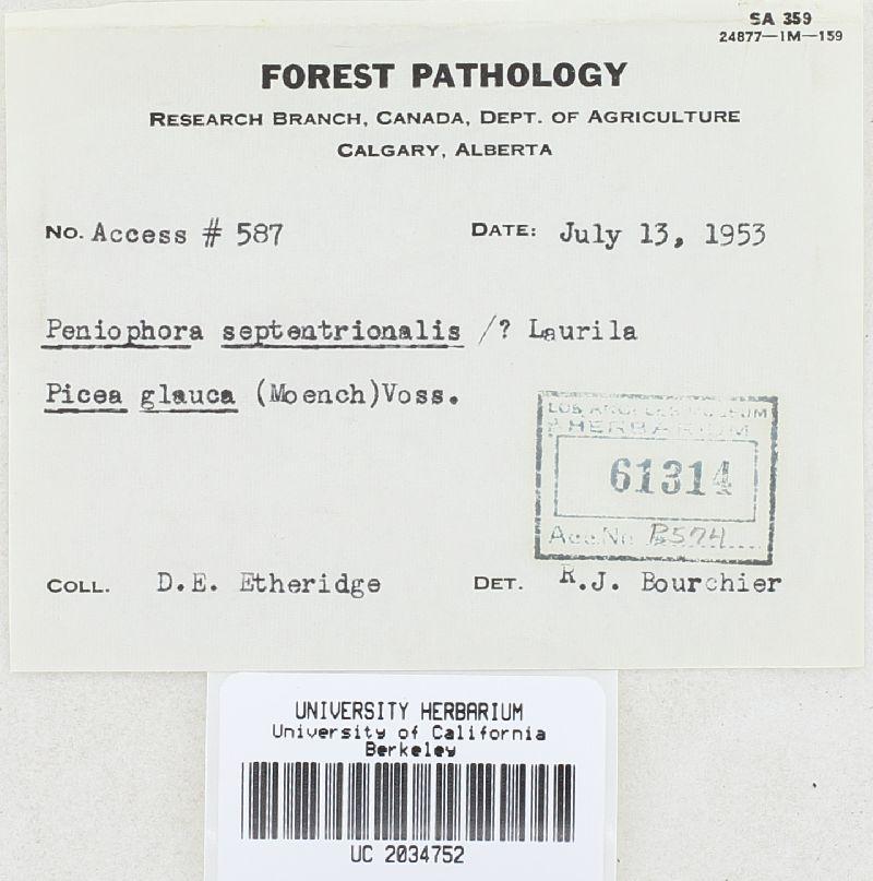 Peniophora septentrionalis image