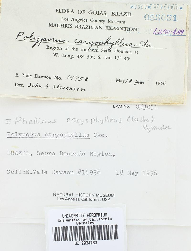 Phellinus caryophylleus image