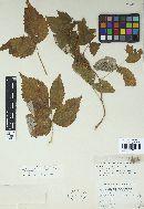 Phragmidium rubi-idaei image