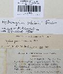 Hysterangium setchellii image