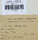 Cortinarius acutoides image