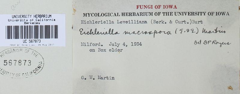 Sebacina macrospora image