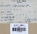 Amanita chlorinosma image