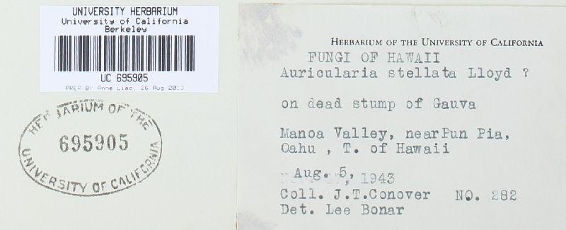 Auricularia stellata image