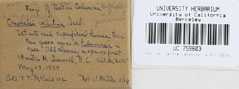 Lichenomphalia velutina image