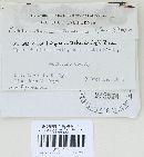 Jaapia ochroleuca image