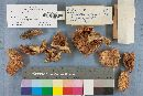 Pleurotus elongatipes image