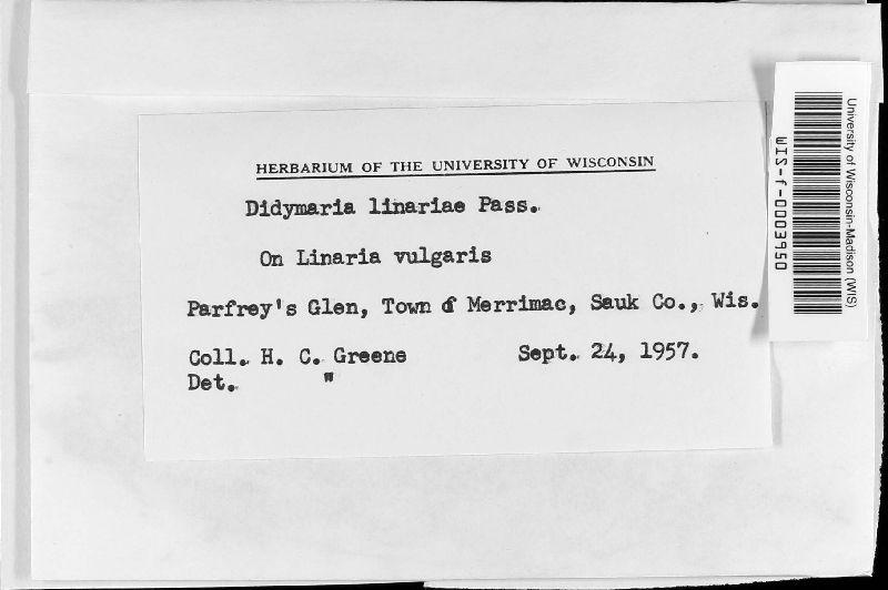 Didymaria linariae image