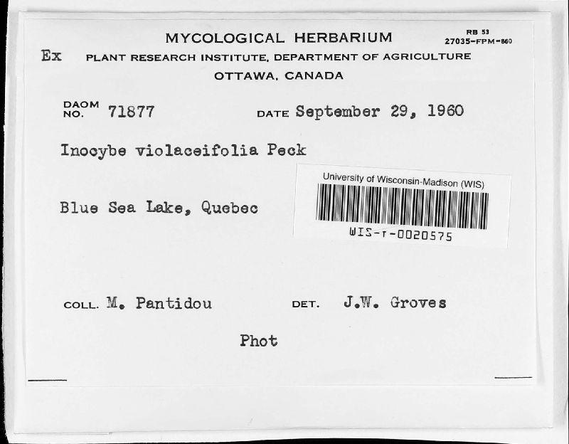 Inocybe violaceifolia image
