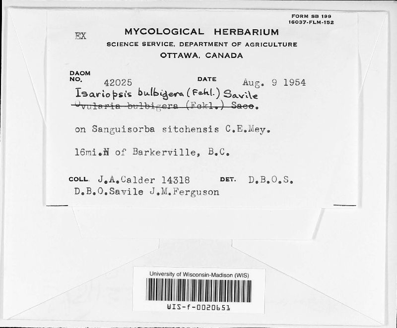 Isariopsis bulbigera image
