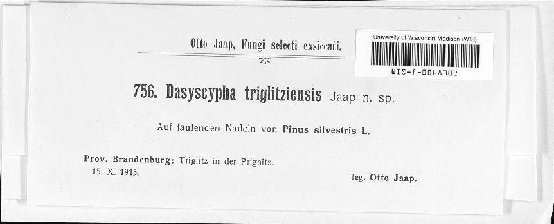 Dasyscypha triglitziensis image