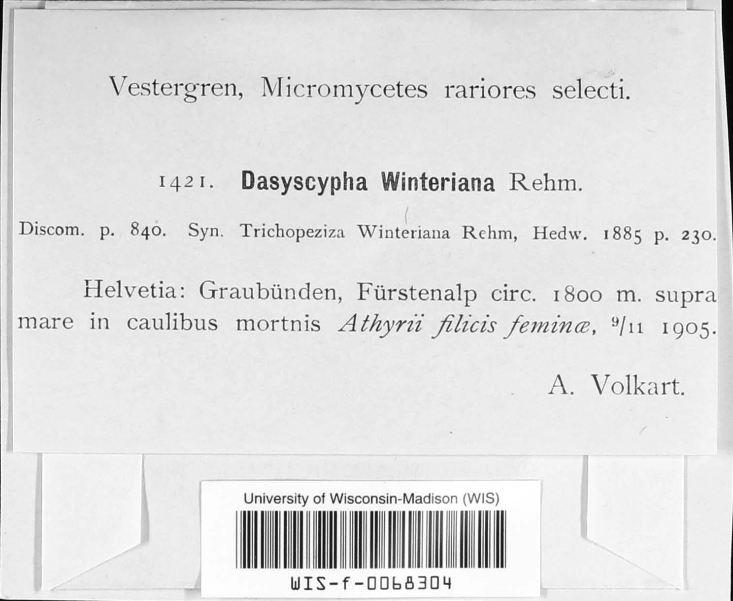 Dasyscypha winterianus image